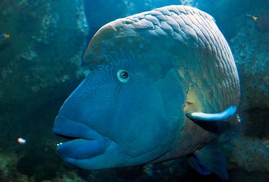 Napolyon balığı-kızıldeniz